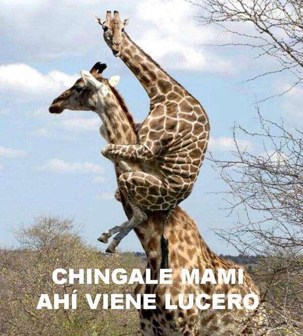 Lucero y las jirafas